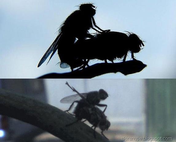 mosca-sexo