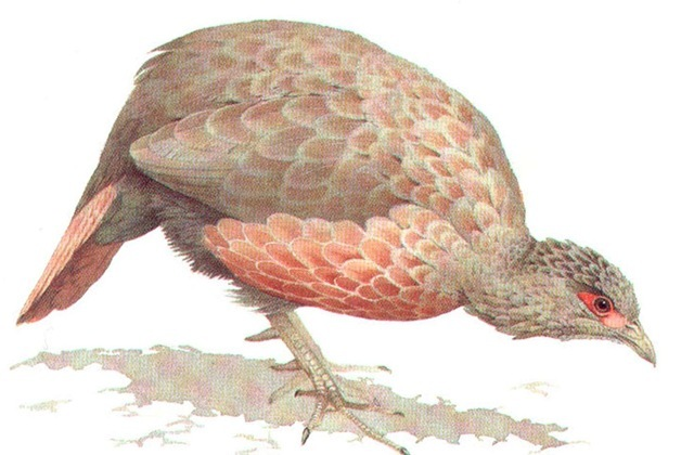 RED SPURFOWL (male)
