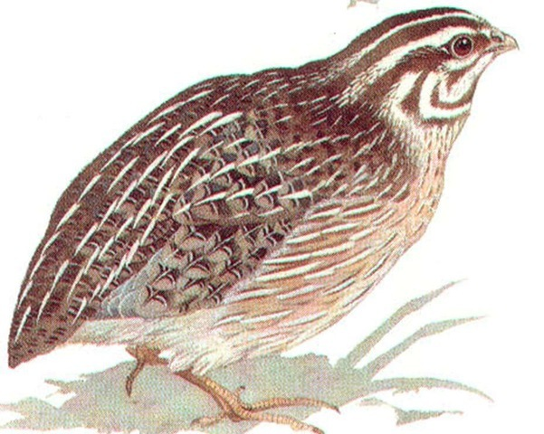 EUROPEAN QUAIL (male)