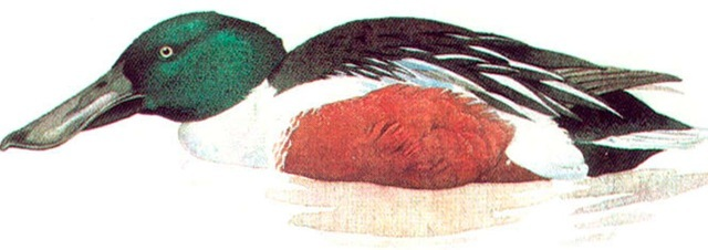 SHOVELLER (male)