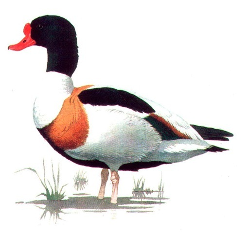 SHELDUCK (male)