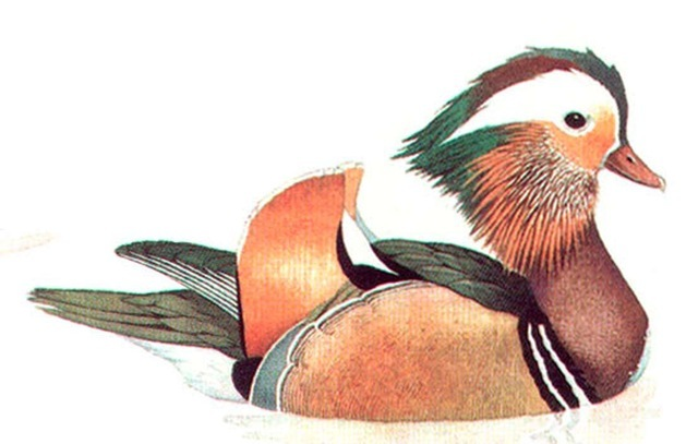 MANDARIN DUCK (male)