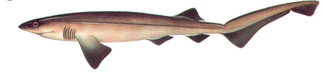 SIX-GILLED SHARK