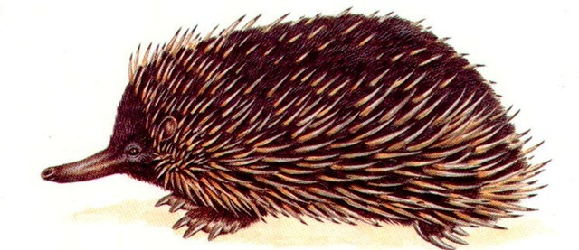 SHORT-NOSED SPINY ANTEATER