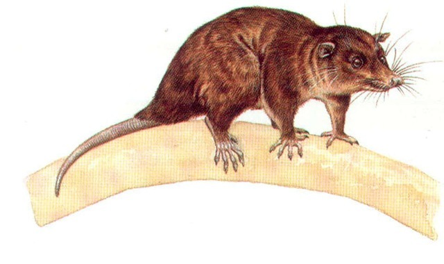 SHORT-TAILED OPOSSUM