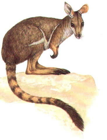 RING-TAILED ROCK WALLABY