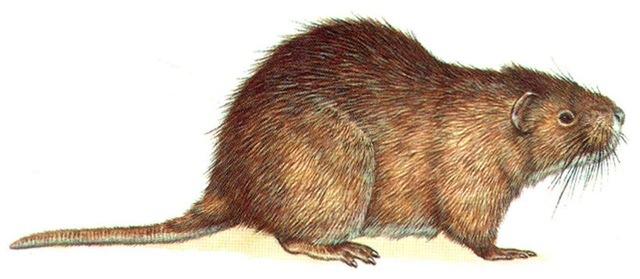 monotremes mammals