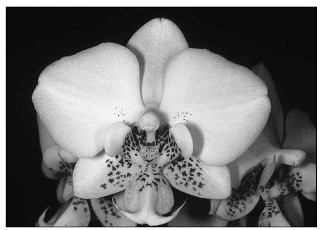 Phalaenopsis stuartiana makes quite a show with its flurry of white flowers backed with stunning foliage.