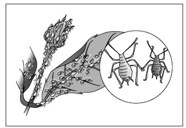 Aphids are usually found in clusters on flower buds and young shoots and leaves.