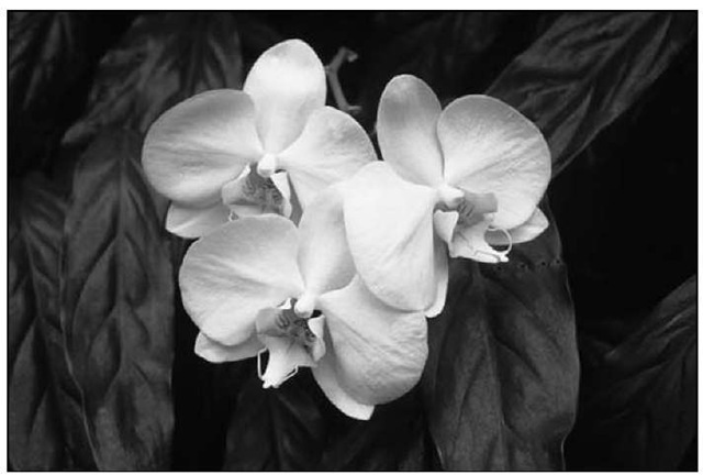 Just about all white phalaenopsis available today display pristine, round, graceful flowers.