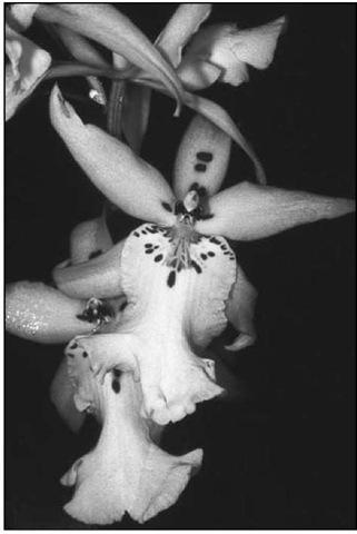 DegarnoaraWinter Wonderland 'White Fantasy' has a unique blend of lip shape similar to miltonia, longer petals like brassia, and wider flowers like odontoglossum.