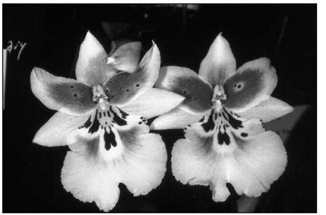 OdontiodaVespa 'Charm' is a favorite because of its compact habit and colorful flower markings.