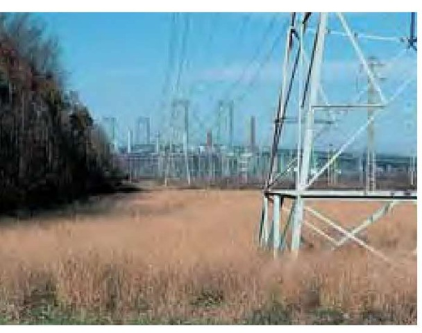 Switchgrass, Panicum virgatum, finds refuge under power lines in southern New Jersey. No one planted the grass: it is self-sown. The utility company's management program eliminates woody plants that attempt to establish under the wires. The net effect is to produce the open, sunny habitat required by the grass. In past years, prior to the fire suppression that became humanly necessary due to increasing population, natural fires would have been the agents creating habitat for switchgrass.