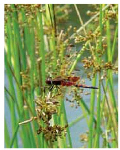 Juncus effusus offers the perfect perch for the calico pennant dragonfly, Celithemis elisa, at the margin of a northern Delaware pond.