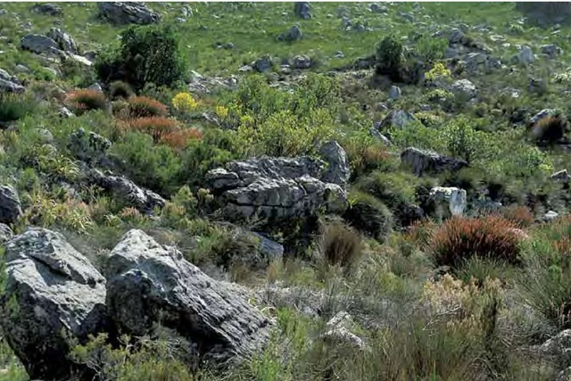 Fynbos vegetation in the Hottentots Holland Mountains of South Africa's Cape Region comprises a number of restio family members including golden-curls, Elegia equiseta-cea, which are adapted to this low-nutrient environment subject to frequent fires.