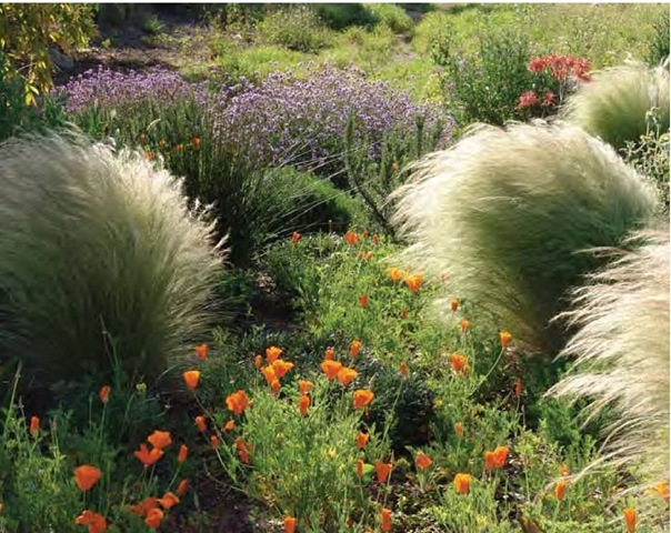 Mexican feather grass, Nassella tenuissima, soaks up the California sun at Seaside Gardens in Carpinteria, in early April. Literally soft and pliant as a feather, this graceful grass is almost constantly in motion.