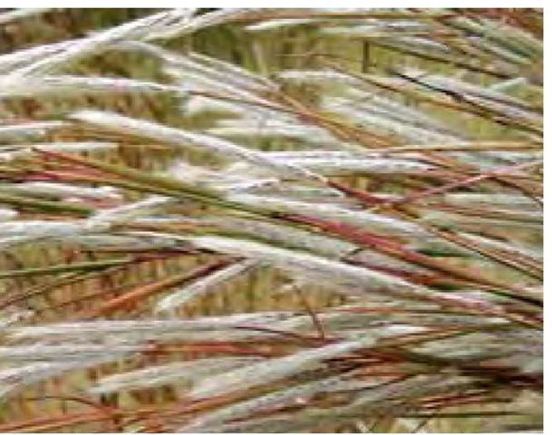 The secondary colors in grass inflorescences are often strong enough to resonate with colors in the surrounding landscape. In mid October in southern Delaware, flowering stalks of split-beard bluestem, Andropogon ternarius, are silver, amber, green, and red.