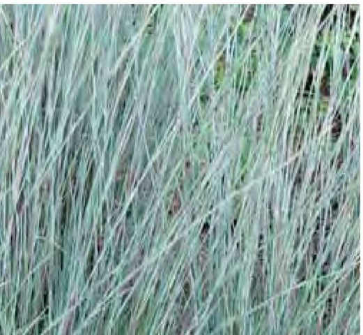 Grass foliage and flowers are often imbued with secondary colors, as with the red-purple segments on the otherwise light blue stems of little bluestem, Schizachyrium scoparium 'The Blues'.