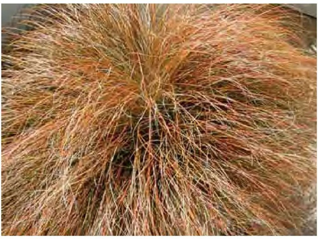 Orange sedge, Carextestacea, is true to name in early April in Southern California.