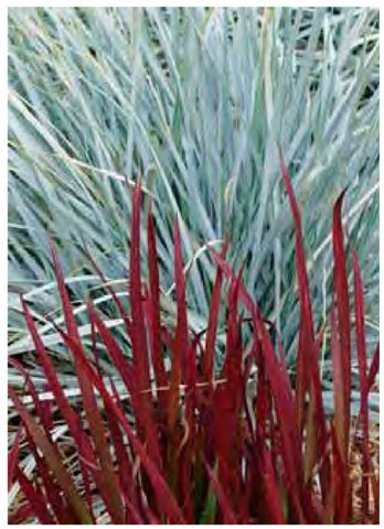 Japanese blood grass, Imperata cylindrica 'Red Baron', is wine-red against a background of blue wheatgrass, Elymus magellanicus, in Southern California in mid August.