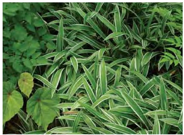 Boldly variegated leaf margins on broad-leafed sedge, Carexsiderosticha 'Variegata', produce a two-tone effect.