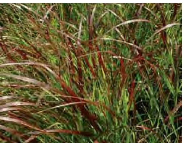 The foliage of red switchgrass, Panicum virgatum 'Shenandoah', turns purple-red in early September in Delaware.