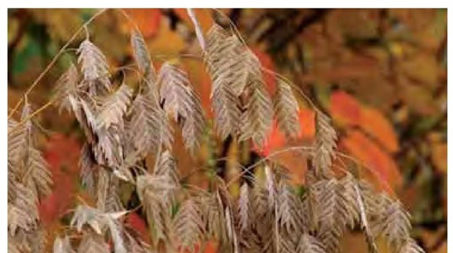 Wheat-colored spike-lets of wild-oat, Chasmanthium latifolium, are set against the pumpkin-orange color of Fothergilla gardenii in early November in the author's Pennsylvania garden.