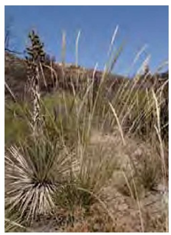 Its seeds maturing in early July, giant needle grass, Achnatherum coronatum, grows with Yucca whipplei at the edge of a burned area in Cleveland National Forest in Southern California