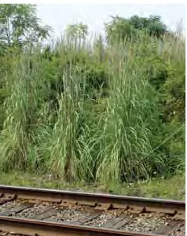 Ravenna grass, Saccharum raven-nae, grows in a neat line parallel to active railroad tracks in Wilmington, Delaware. This exotic species has been cultivated in the United States for over a century, but it has so far proved capable of naturalizing only in greatly disturbed niches, such as here in the highly modified habitat created and maintained by human industrial activity.