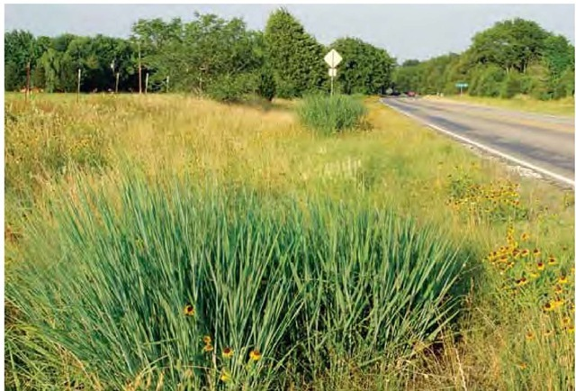 Provenance matters. These switchgrasses, Panicum virgatum, growing unplanted along a road outside Dallas represent the local population of this species. The dry, sunny Texas provenance of these particular plants makes it likely that they possess more genetically inherent heat tolerance than cool northern representatives of P. virgatum.