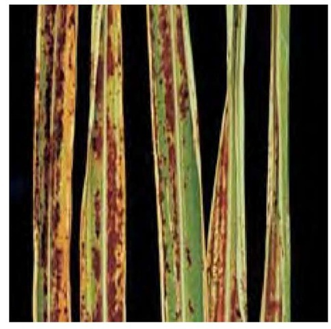 Miscanthus blight is a fungal disease that causes reddish brown spots or streaks on leaves and leaf sheaths. Photo by Nichole O'Neill.