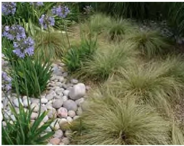 Nassella trichotoma at the Royal Horticultural Society's garden, Wisley, grows in light brown gravel mulch which is topped with a covering of larger stones in the adjacent planting of Agapanthus.