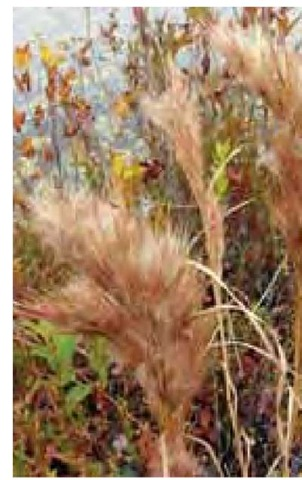 Bushy seed-heads of Andropogon glomeratus are cinnamon-colored against the autumn color of woody shrubs at the edge of New Jersey Pine Barrens waters in late October. Typical of plants in the northern range of this species, these grasses are only 2 feet (60 cm) tall.