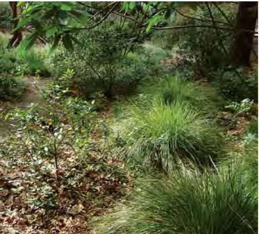 In early April, New Zealand wind grass, Anemanthele lessoniana, adds its rich green color to a shaded section of Dave Fross's garden in San Luis Obispo, California. Although this grass is typically grown in sun,the shaded conditions here more closely resemble those of its native habitat.