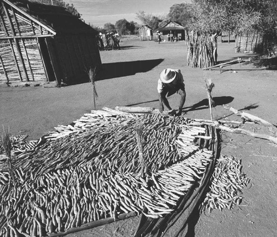 Cassava Processing in Madagascar. A man dries cassava in a village near Betioky in Madagascar in 2000. The cassava plant, which is native to South America, was brought to Africa by Portuguese traders.