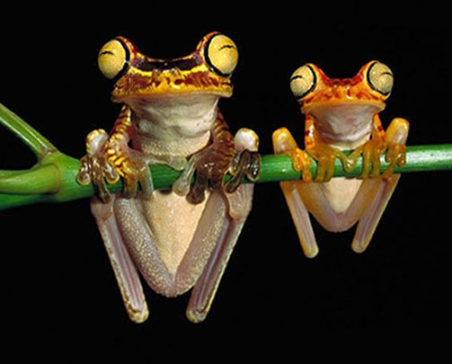 Chachi-Tree-Frogs