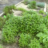 Menthe verte - Mentha spicata
