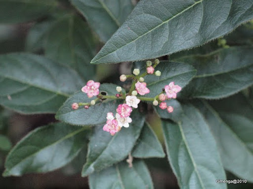 Viburnum tinus