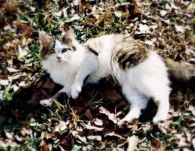 Fluffy a feral cat