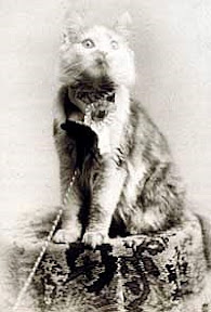 Maine Coon cat Cosey, first winner cat show New York may 1895