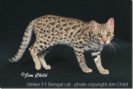 striker f1 bengal cat 10
