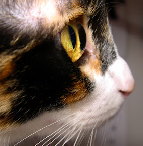 cat eye in profile shwing it protruding from skull