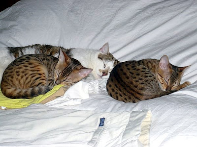 two Egyptian Mau cats and a friend