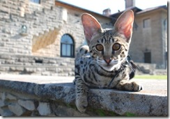 kathrin-stucki-photos-f2-savannah-cat-6