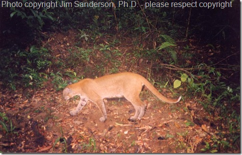 Asiatic-Golden-Cat-camera-trap