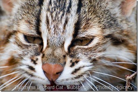 Tsushima Leopard Cat