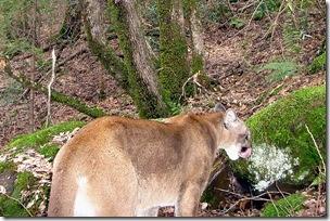 Puma picture camera trap