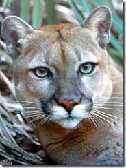 Hal rescued puma big cat rescue sponsorship program