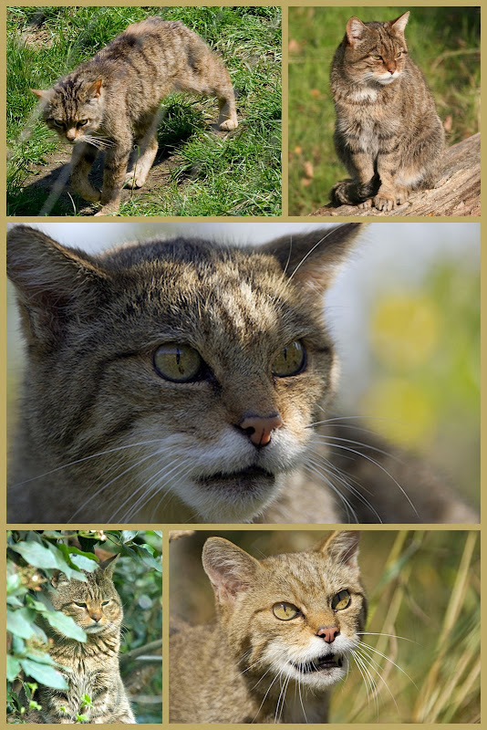 Scottish wild cat collage