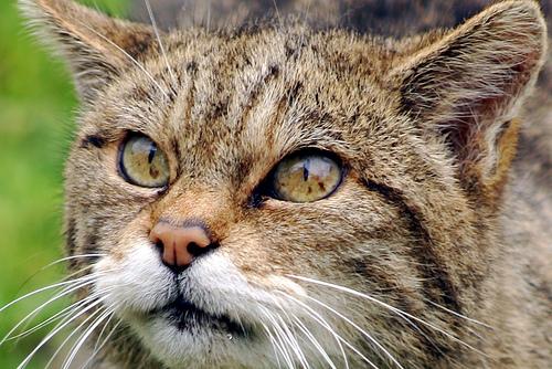 http://lh5.ggpht.com/_LlfXWxcpJyU/SoLCRUJ9LaI/AAAAAAAAN78/0FKyXyGZoeM/scottish-wildcat-jeffna.jpg
